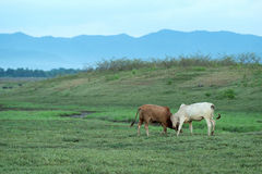 Vaca que pasta na terra Fotografia de Stock Royalty Free