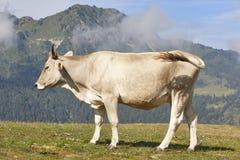 Vaca que pasta nas montanhas livestock Paisagem idílico foto de stock royalty free