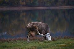 Vaca que pasta no prado imagem de stock royalty free