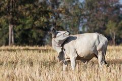 Vaca que persegue os insetos empoleirados Fotografia de Stock Royalty Free