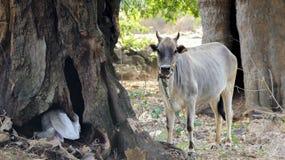 Vaca que presenta para la imagen fotos de archivo