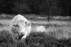 vaca que recorre Foto de archivo libre de regalías