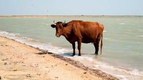 Vaca que se coloca en agua en la playa almacen de metraje de vídeo