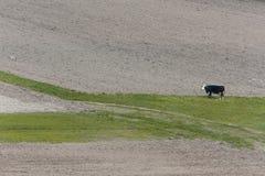 Vaca que se coloca en campo Fotografía de archivo libre de regalías
