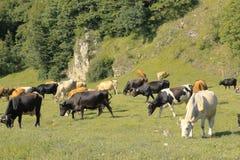 Vaca que se coloca en el prado del verano Foto de archivo
