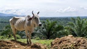 Vaca que se coloca en lado del acantilado sobre el valle Foto de archivo