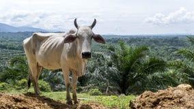 Vaca que se coloca en lado del acantilado sobre el valle Fotos de archivo