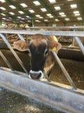 Vaca que se coloca en un granero, jersey, Chanel Islands, Reino Unido del jersey imagen de archivo