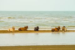 Vaca que se relaja en la playa foto de archivo