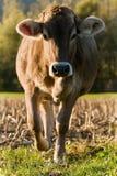 Vaca que vem mais perto Imagem de Stock Royalty Free