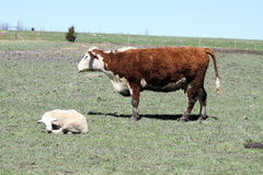 Vaca & Ram de Hereford Imagens de Stock Royalty Free