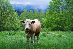 A vaca República Checa Foto de Stock