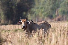 Vaca roja con pájaros más limpios Fotografía de archivo libre de regalías