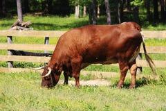 Vaca roja de Angus Fotos de archivo libres de regalías