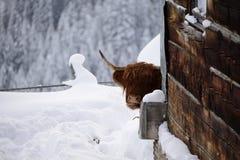 Vaca roja de la montaña en el warth Austria Imagen de archivo