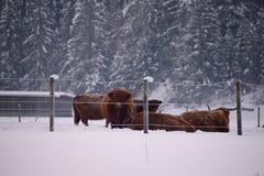 Vaca roja de la montaña en el warth Austria Imágenes de archivo libres de regalías