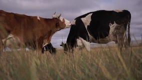 Vaca roja que lame la vaca blanco y negro almacen de video
