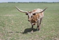 Vaca roja y blanca del fonolocalizador de bocinas grandes de Tejas del toro del buey con los cuernos largos en pasto verde imágenes de archivo libres de regalías