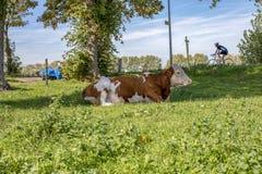 Vaca roja y blanca, raza del montbeliard del ganado, mentira perezosa en el medio de un prado verde con un cielo azul foto de archivo