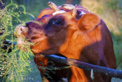 Vaca roja y marrón divertida del verano Imagenes de archivo