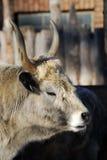 Vaca salvaje Fotografía de archivo