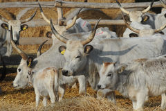 Vaca salvaje europea Fotos de archivo