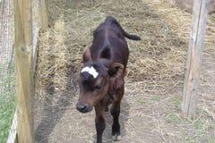 Vaca santa del bebé Fotografía de archivo libre de regalías