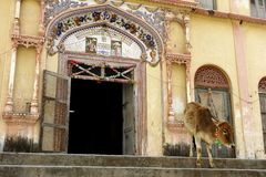 Vaca santa delante del templo hindú Imagen de archivo