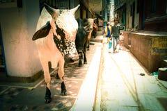 Vaca santamente Fotos de Stock