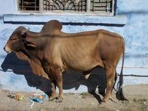 Vaca santamente em Junagadh/Índia Fotografia de Stock Royalty Free