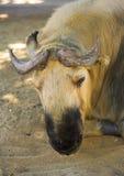 Vaca Siberian Imagens de Stock