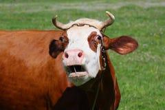 Vaca sobre ao prado Imagens de Stock Royalty Free