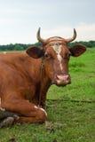 Vaca sobre ao prado Foto de Stock Royalty Free