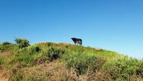 Vaca sobre la colina de la hierba verde metrajes