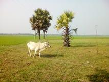 Vaca sola Imagenes de archivo