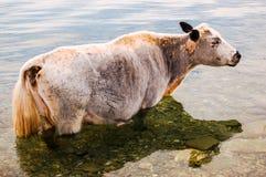 Vaca solitária que está na água Imagem de Stock Royalty Free