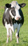 Vaca solitaria Fotografía de archivo