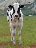 Vaca solitaria con los acantilados de la arcilla en las montañas al paseo del océano fotos de archivo libres de regalías