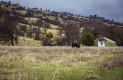 Vaca solitaria y el granero verde imagenes de archivo