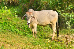 Vaca sonriente loca con la lengua Fotos de archivo libres de regalías