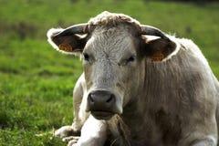 Vaca suíça Imagens de Stock