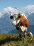 Vaca suíça Imagem de Stock
