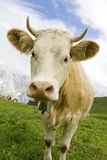 Vaca suíça Imagens de Stock Royalty Free