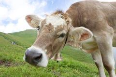 Vaca suíça Imagem de Stock Royalty Free