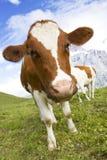 Vaca suíça Fotografia de Stock Royalty Free