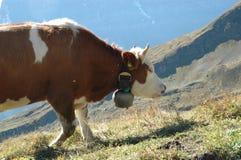 Vaca suíça com sino fotografia de stock royalty free