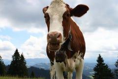 Vaca suíça no feed-lot Imagem de Stock