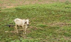 A vaca suave está procurando a grama Imagens de Stock