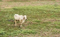 A vaca suave está procurando a grama Foto de Stock Royalty Free