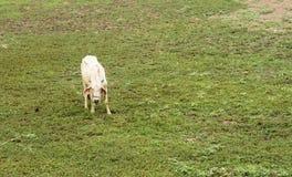 A vaca suave está procurando a grama Imagem de Stock Royalty Free